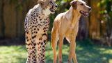 Η καλή φιλία μεταξύ ενός σκύλου και ενός τσιτάχ