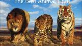 Μεγάλες μάχες στο ζωικό βασίλειο