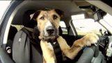 Ο πρώτος σκύλος στον κόσμο που οδηγεί αυτοκίνητο