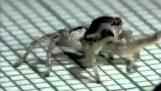 الراقصة العنكبوت