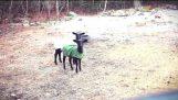 Zdesperowany owiec