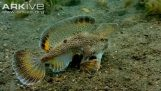 Fish walking on the bottom