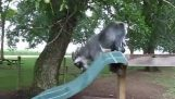 A goat in a slide