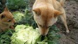 Απολαυστικό λάχανο