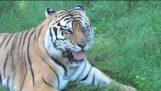Тигър се провалиха