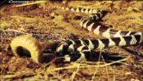Крал срещу гърмяща змия