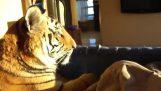 Przebudzenie z tygrysa