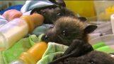 Klinika pre osirelé netopierov