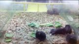 這是… 倉鼠搖