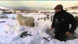 Βρήκε τα πρόβατά του εγκλωβισμένα κάτω από το χιόνι