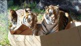 Και στις μεγάλες γάτες αρέσουν τα κουτιά