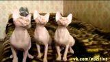חתולים מסונכרן