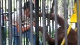 L'orang-outan qui voulaient s'habiller