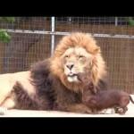 Ένα λιοντάρι επισκέπτεται τον σκύλο-οδοντίατρο