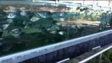 Staket-akvariet
