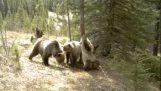 Що робити ведмеді, коли ніхто не бачить;