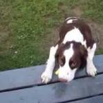 Ένας τυφλός σκύλος που λατρεύει το παιχνίδι