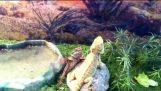 Dvě ještěrky jsou uvítáni