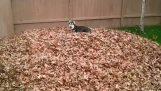 西伯利亞哈士奇犬愛玩樹葉
