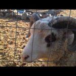 Το πρόβατο το «πολλά βαρύ»