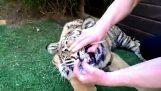 Εξαγωγή δοντιού σε μια τίγρη