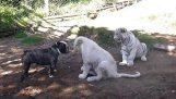 Μπουλντόγκ παίζει με ένα λευκό λιοντάρι και μια τίγρη