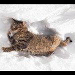 Γάτες στο χιόνι