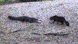 चक Norris रिटर्न की बिल्ली