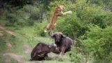 Βούβαλος σώζεται από τους φίλους του ενώ τον κατασπαράζει λιοντάρι