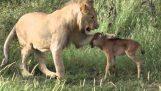 Λιοντάρι προστατεύει και σώζει ένα μικρό γκνου
