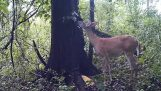 Що робить олень поодинці в лісі;