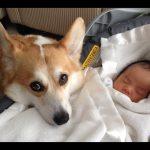 Οι σκύλοι προστατεύουν τα μωρά