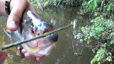 Scissors-piranhas