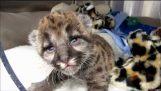 बचाया गया फ्लोरिडा तेंदुआ बिल्ली का बच्चा