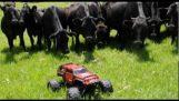 गायों और मानव रहित