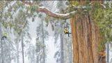 L'albero gigante