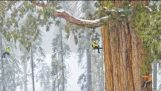 Το γιγαντιαίο δέντρο