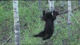 Черный медведь попытки ходить по веревке