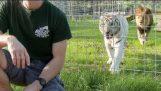 Μη γυρνάς την πλάτη σου σε μια μεγάλη γάτα