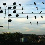 Μουσική στη Φύση: Τα πουλιά στα καλώδια