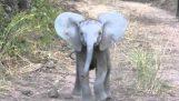 Слон теле таксуване