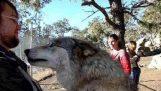 Joy útok vlka v člověka