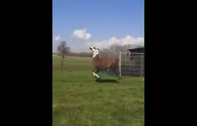 Dansande Lama