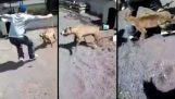 Greek infuriates pit bull, gets his lesson