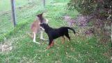 Un kangourou et un Rottweiler jouent ensemble