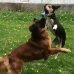 Η υπερπροσπάθεια των σκύλων