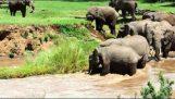 Ελέφαντες συνεργάζονται για να σώσουν ένα ελεφαντάκι