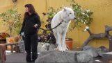 Piękne wilk polarny