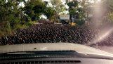 Хиляди патици спират трафика в Тайланд