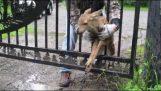 एक छोटी सी हिरण गेट से बचाव